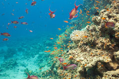 Scalefin anthias fish and corals in the sea Stock Image