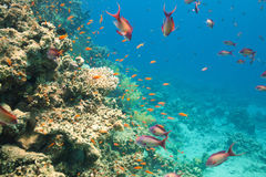 Scalefin anthias fish and corals in the sea Stock Images
