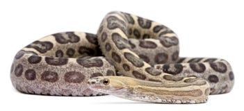 Scaleless Corn Snake, Pantherophis Guttatus Stock Images