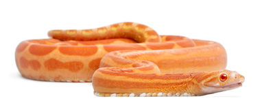 Scaleless Corn Snake, Pantherophis Guttatus Stock Images
