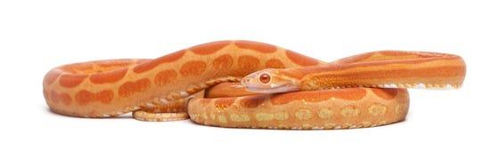 Scaleless Corn Snake, Pantherophis Guttatus Stock Photography