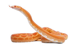 Scaleless Corn Snake, Pantherophis Guttatus Stock Photo