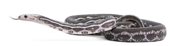 Scaleless Corn Snake, Pantherophis Guttatus Royalty Free Stock Photos
