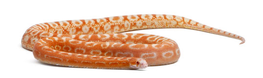 Scaleless Corn Snake, Pantherophis Guttatus Royalty Free Stock Image