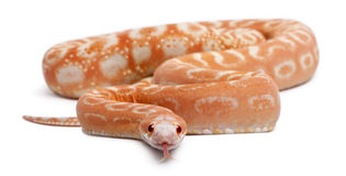 Scaleless Corn Snake, Pantherophis Guttatus Stock Photos