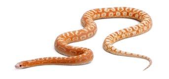 Scaleless Corn Snake, Pantherophis Guttatus Stock Photos