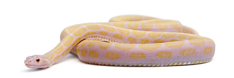 Scaleless Corn Snake, Pantherophis Guttatus Royalty Free Stock Images