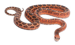 Scaleless Corn Snake, Pantherophis Guttatus Stock Photography
