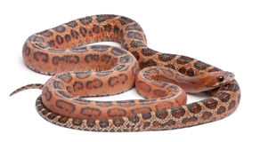 Scaleless Corn Snake, Pantherophis Guttatus Stock Photo
