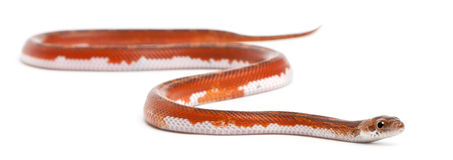 Scaleless Corn Snake, Pantherophis Guttatus Stock Image