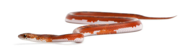 Scaleless Corn Snake, Pantherophis Guttatus Royalty Free Stock Photo