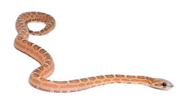 Scaleless Corn Snake, Pantherophis guttatus Royalty Free Stock Photography