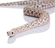 Scaleless corn snake or red rat snake Stock Photo