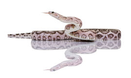 Scaleless corn snake or red rat snake Royalty Free Stock Photography