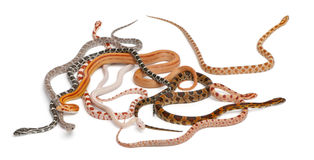scaleless ormar för havreguttatuspantherophis royaltyfria foton