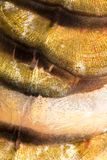 Scales of a carp as a background. macro.  Royalty Free Stock Image