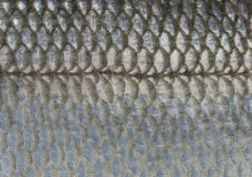 Scales of fish. (Sea Bass), close up Royalty Free Stock Photos