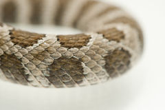 Scales of a rattlesnake Royalty Free Stock Photo