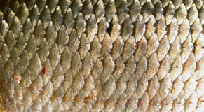 Scales of roach Royalty Free Stock Photo