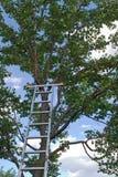 Scaletta sull'albero di albicocca Immagine Stock