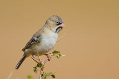 Scaley Headed Finch Royalty Free Stock Photography