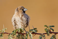 Scaley Headed Finch Stock Photography