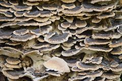 Scalled fungi form, uniform structure,textured scales of varous sizes. Texture and scales. Fungi brown and white with tan. layered. sizes of packed together stock image
