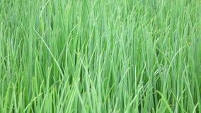 Scallion green onion plants in the garden, Da Lat city, Lam Dong province, Vietnam Stock Photos