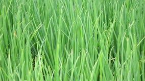 Scallion green onion plants in the garden, Da Lat city, Lam province, Vietnam stock footage