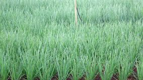 Scallion green onion plants in the garden, Da Lat city, Lam province, Vietnam. Green Fields are watered on Scallion green onion plants in farm, Da Lat city, Lam stock video
