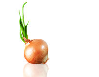 Scallion-onion Stock Images