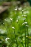 Scallion pszczoła kwiaty i Zdjęcia Stock