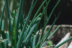 scallions Foto de Stock Royalty Free