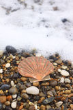 Scallop Royalty Free Stock Photography