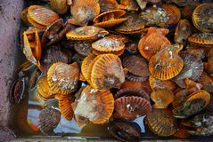 Scallop. It is people especially like to eat seafood one stock photos