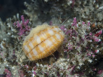 Scallop. An underwater photograph of a Spiny Pink Scallop with its shell covered in sponge taking in southern British Columbia, Canada royalty free stock image