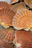 Scallop background Stock Images