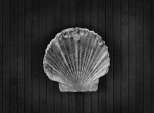 Scallop. Stock Photos