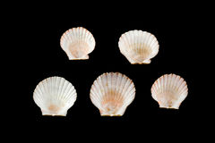 Scallop on black. Back ground Stock Photography
