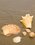 Scallop and Conch Shells Royalty Free Stock Images
