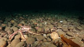 Scallop and crab underwater on seabed of Barents Sea on Kamchatka. Nature in clean transparent cold water. Wildlife on background of blue marine in Arctic stock video footage