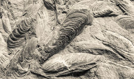 Scallop fossils Royalty Free Stock Photography