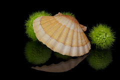 Scallop. A scallop with green plant balls is reflected in the dark Royalty Free Stock Photo
