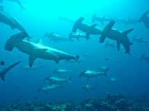 Scallop Hammerheads. In Gallapagos Islands stock images
