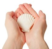 Scallop in the hands Stock Photography