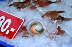 Scallop on the ice royalty free stock photo