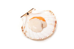 Scallop in its shell Stock Images