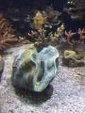 scallop life in aquarium of Monaco Stock Image