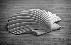 Scallop monochrome Stock Photo