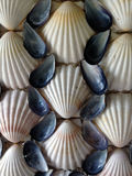 Scallop and Mussel shells Stock Image